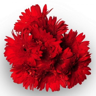 bunch of Red Gerberas